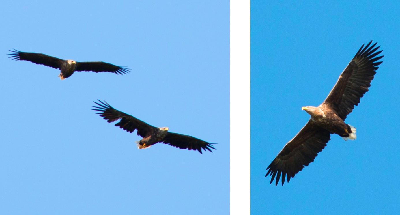 eagles at uttakleiv beach