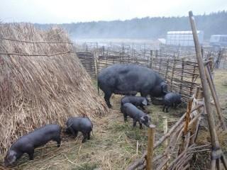 Macbeth--Pigs