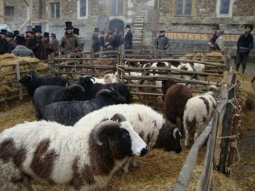 Market-Jacob-Sheep-(2)