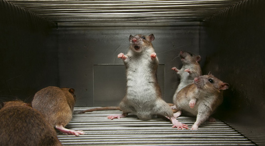 rats-trapped-cage