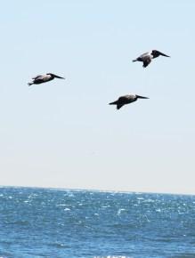 pelicans-climbing