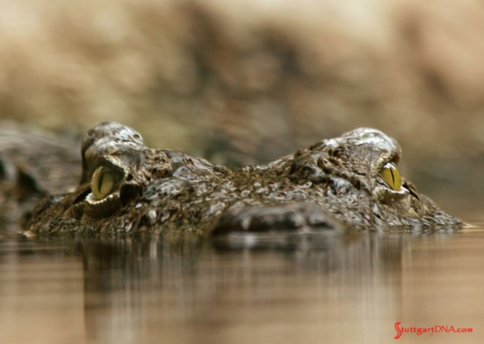 996-gen Porsche 911 Buyer Guide: Depicted here are a pair of crocodile's eyes just above the waterline, the ferocious-looking croc lying in deadly ambush. Credit: pixabay.com
