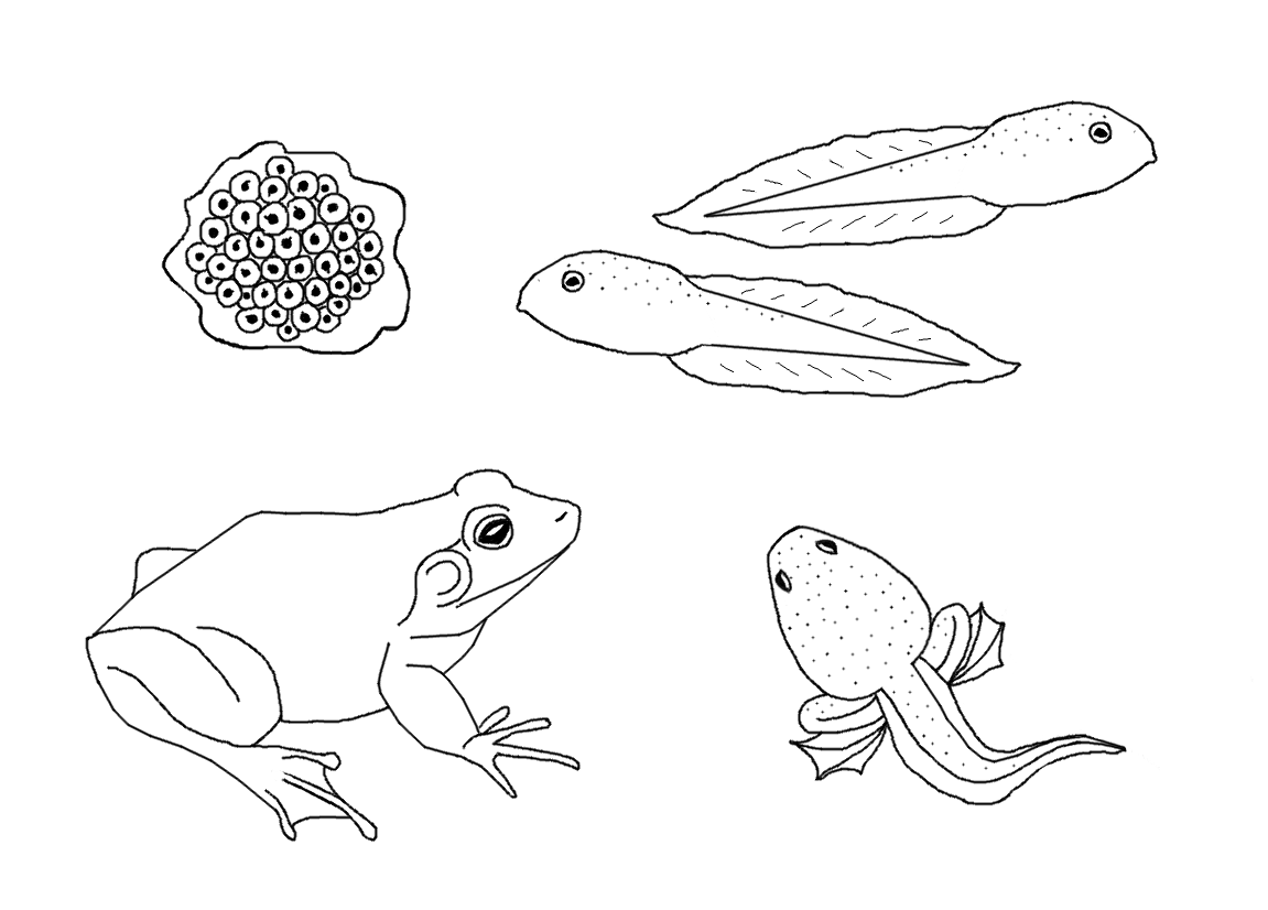 Free Life Cycle Coloring Pages