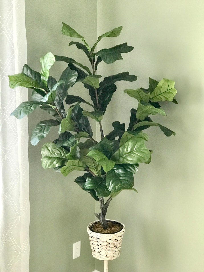 Office fig leaf plant