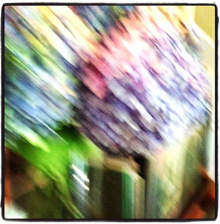 hydrangea-cape-cod