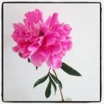 Sunday Bouquet: Pink Garden Peony