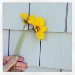 Sunday Bouquet: Coreopsis Against Grey Shingles