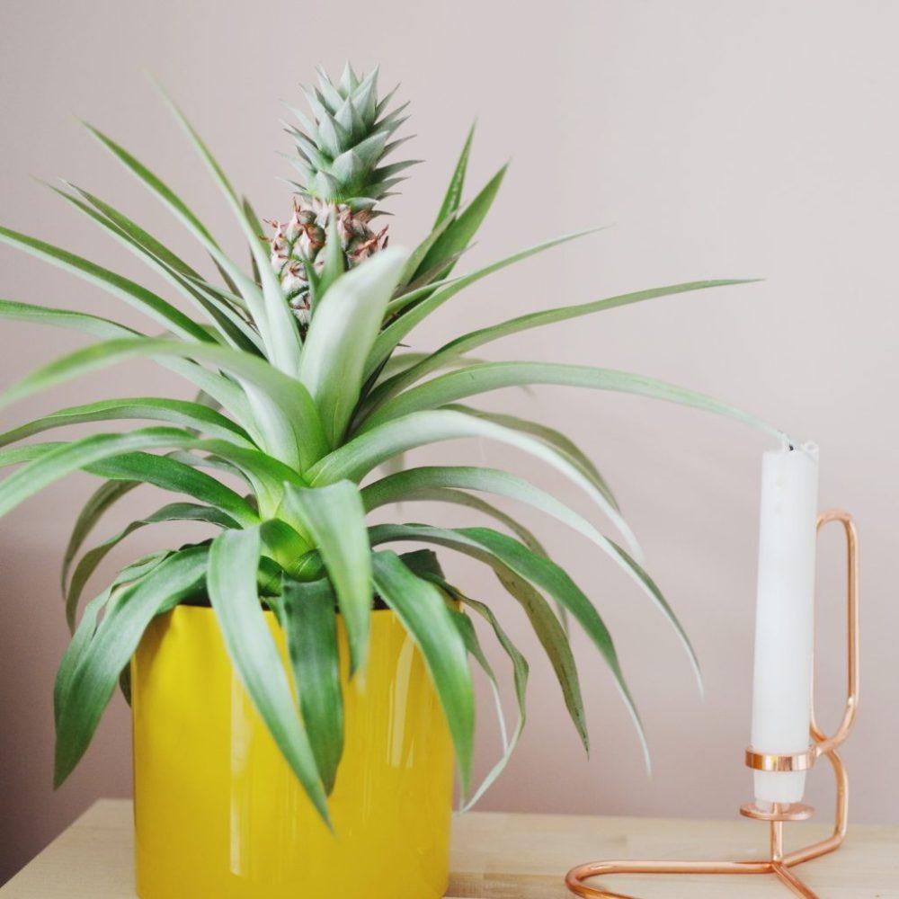 Комнатный ананас: уход в домашних условиях, фото