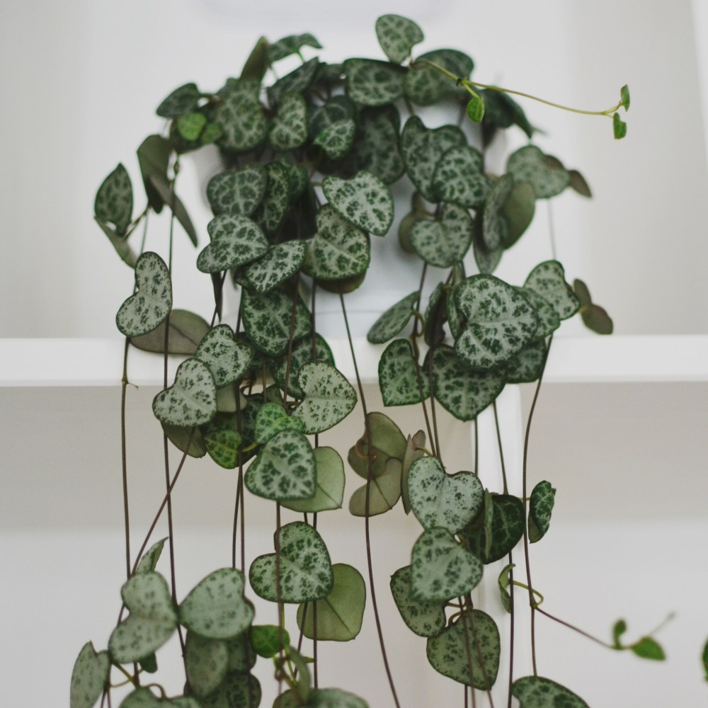 chinees lantaarnplantje