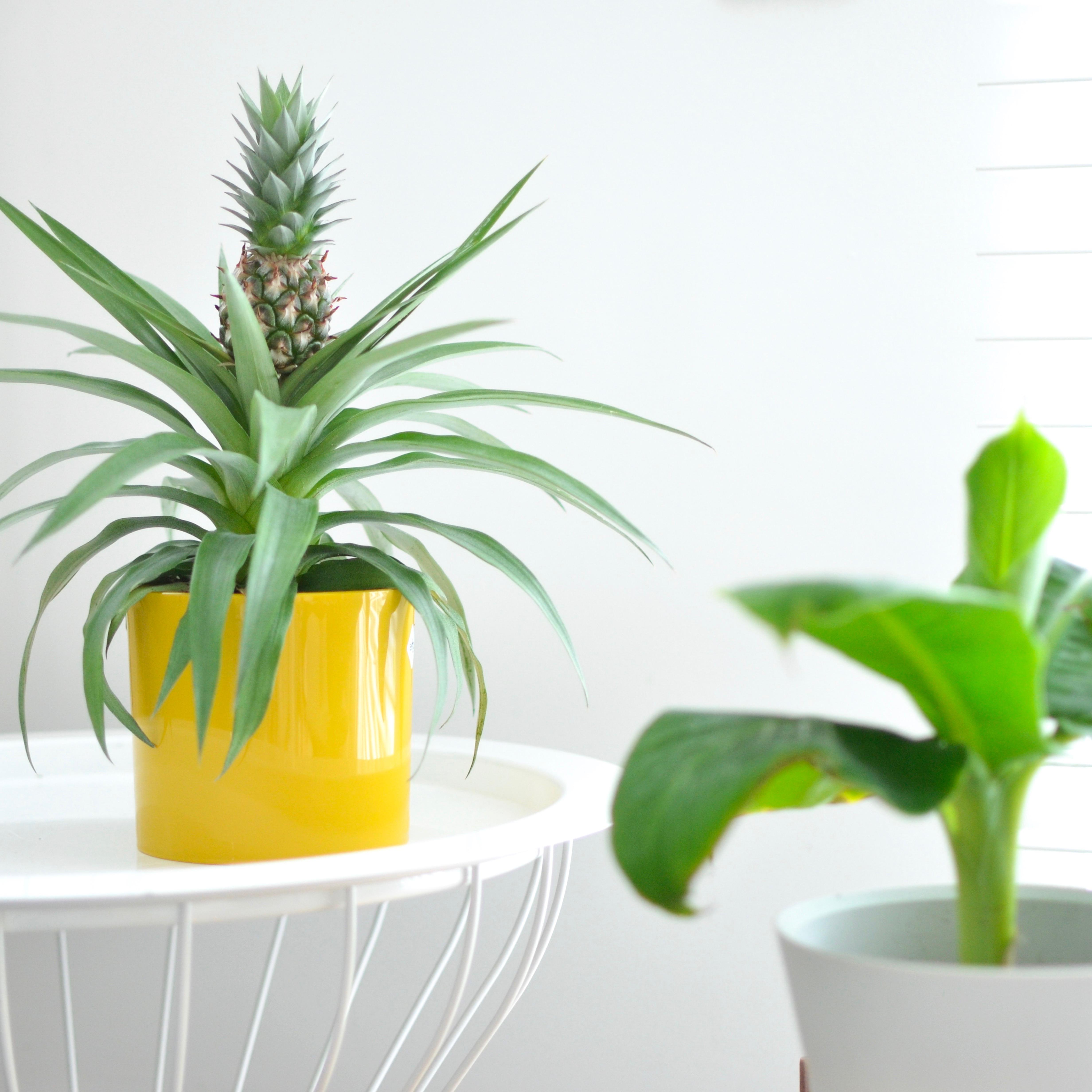 ananasplant en bananenplant