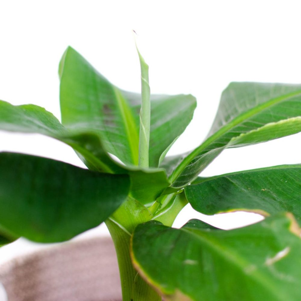bananenplant bruine bladeren