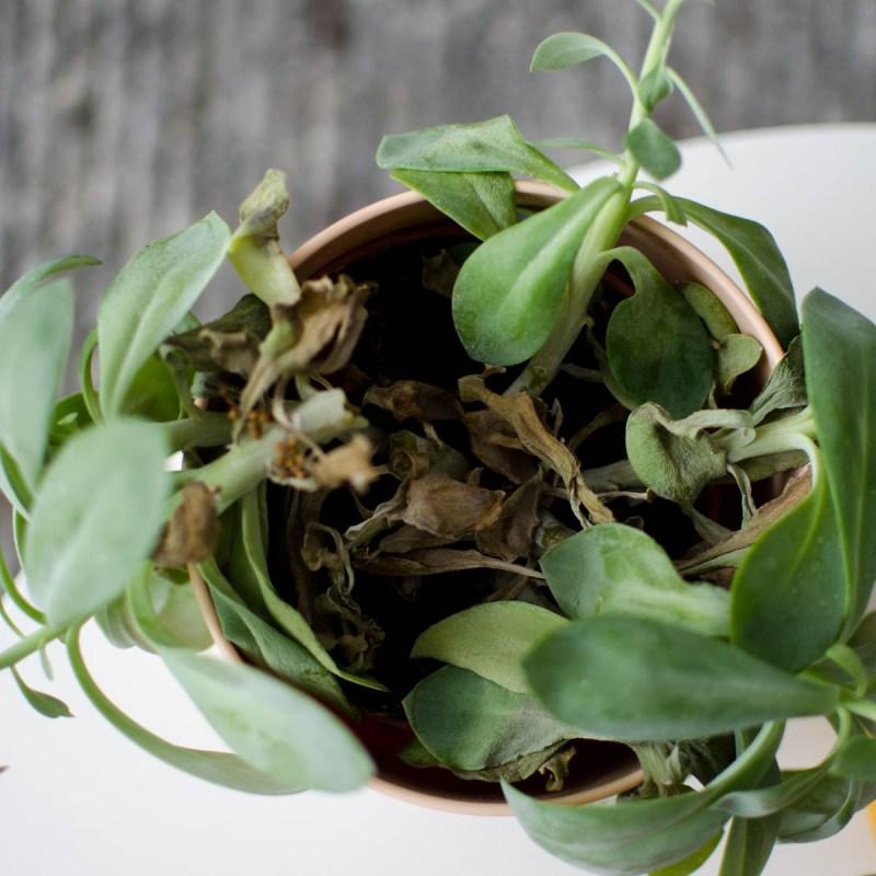 Plant dood