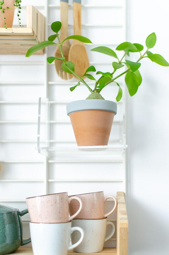 mierenplant