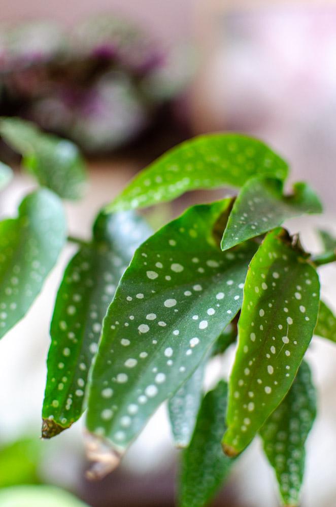 stippenbegonia begonia Maculata en Begonia Tamaya
