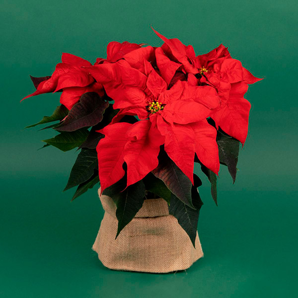 Poinsettias for Christmas table