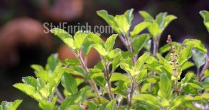 Health Benefits of Holy Basil Herb