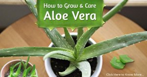 How to Grow Aloe Vera at Your Home?