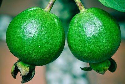 Guava is very helpful for diabetics patients