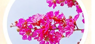 Health Benefits of Queen Flower Plant
