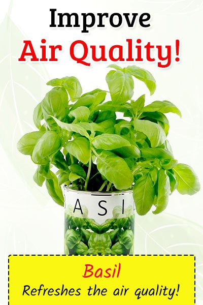 Basil To Improve Air Quality