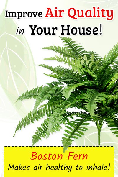 Boston Fern To Improve Air Quality