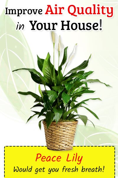 Peace Lily To Improve Air Quality