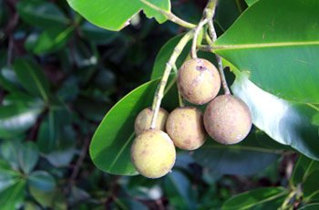 Tamanu Oil Benefits for Skin and Hair