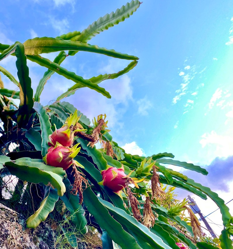 Dragon fruit growing on cacti