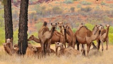 Photo of Australia akan Musnahkan Ribuan Ekor Unta