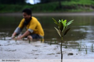 Satu Untuk Kehidupan sebatang bakau (Rhizophora apiculata) berdiri kokoh demi menjaga muara Sungai Hitam dari ancaman Abrasi.