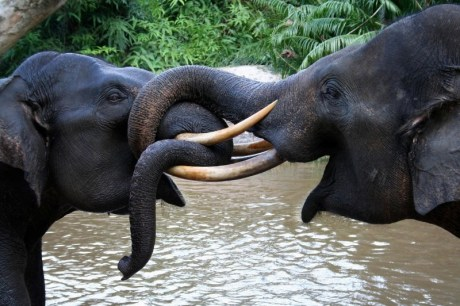 Sumatran elephants (Elephas maximus sumatrensis) playing in Tesso Nilo National Park, Riau, Indonesia. Both are members of Flying Squad Elephant Patrol. These elephants are deployed to minimize conflict between human and wild elephants in the outskirt of Tesso Nilo NP.