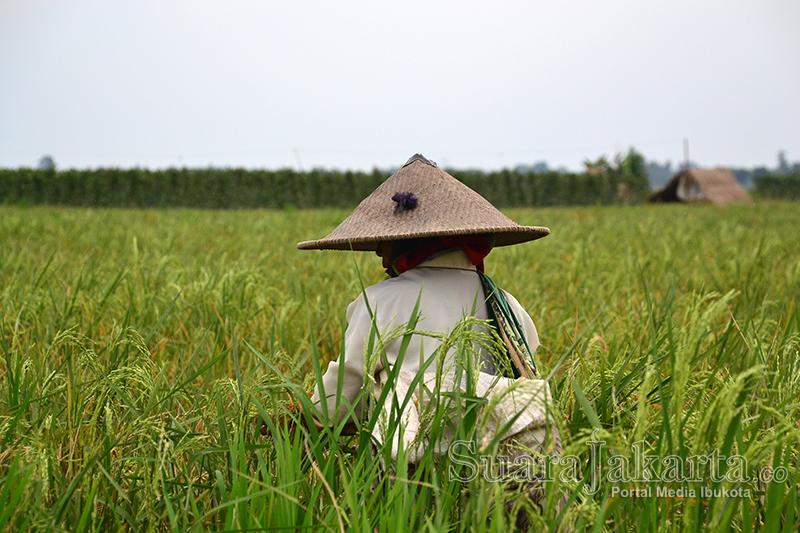 suara-jakarta-Ketahanan-Pangan-indonesia-sawah-padi