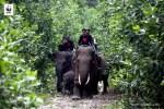 Kematian Gajah Berlanjut, WWF Indonesia Minta Perhatian Serius Pemerintah Lindungi Gajah Sumatera