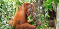 Pelaku Perdagangan Orangutan di Riau Dijatuhi Vonis 2,5 Tahun Penjara