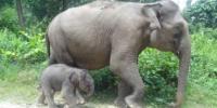 Harapan Baru Bagi Gajah Sumatera: Bayi Gajah Lahir di Taman Nasional Tesso Nilo
