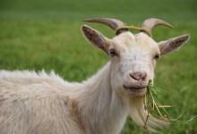 Photo of Kisah pakcik Nepal dan kambing