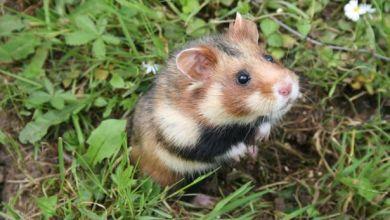 Photo of Hamster kini diancam kepupusan