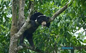 Photo of Montom, beruang madu kelapan dilepaskan BSBCC ke habitat asal