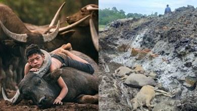 Photo of Lebih 30 kerbau Syukor mati akibat wabak