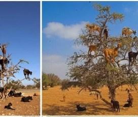 Seperti Monyet, Kawanan Kambing di Maroko Mencari Makan di Atas Pohon