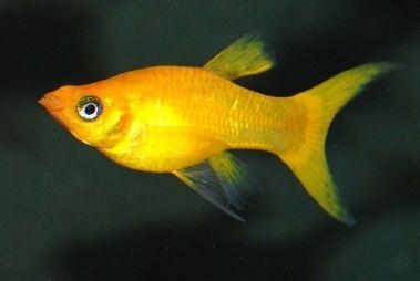 Ikan molly golden lyretail