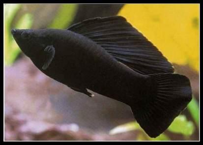 Ikan Molly hitam / black molly