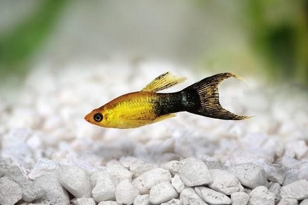 Penyakit Pada Ikan Molly
