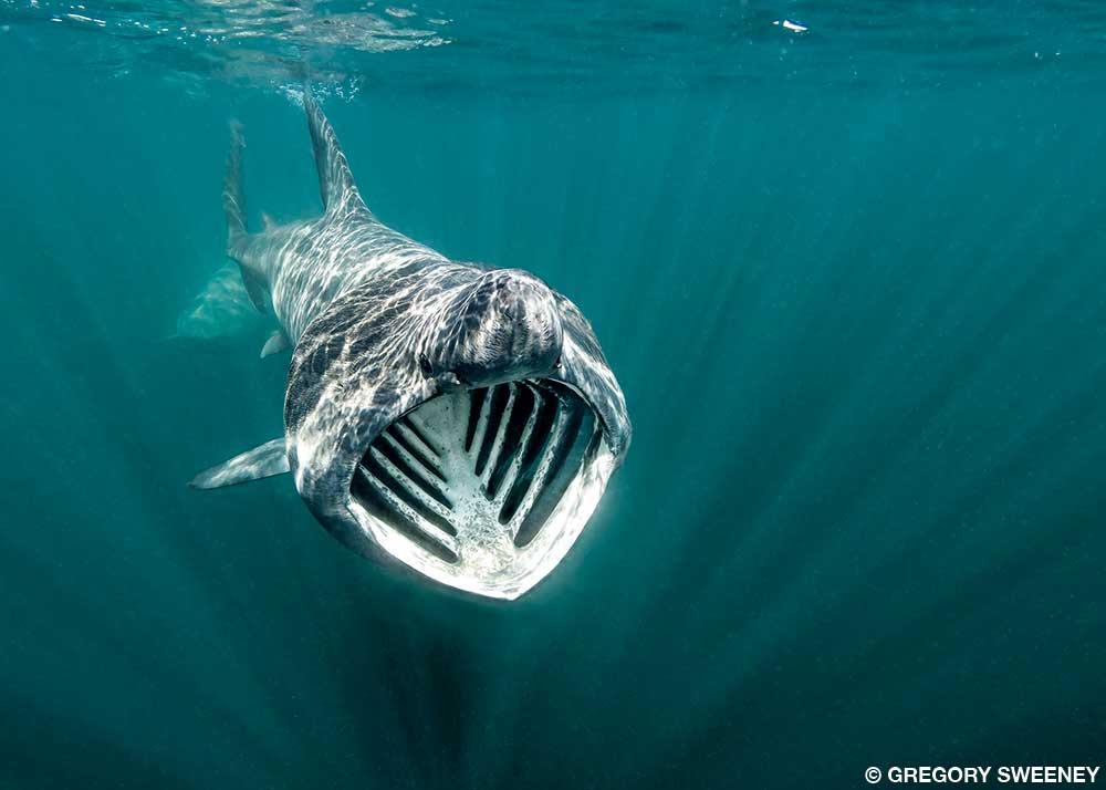 ikan basking shark