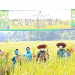 DUKUNG Program Food Estate, Bank Kalsel Bersama Petani Gelar Panen Padi IF16 di Tabalong