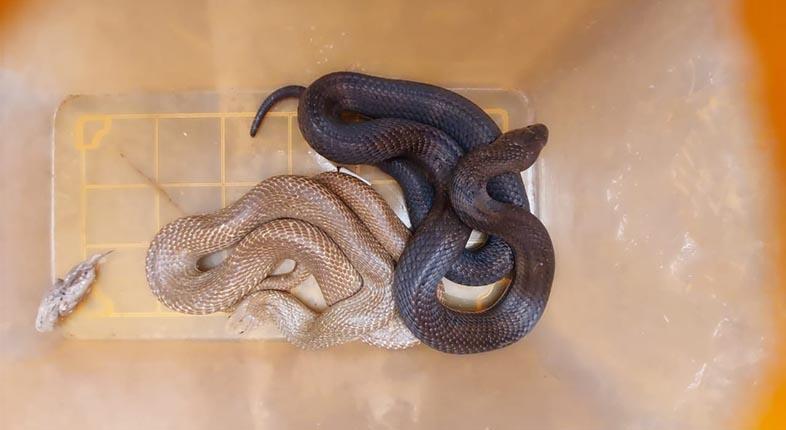 KEPERGOK Sepasang Ular Kobra Kawin di Dapur Warga