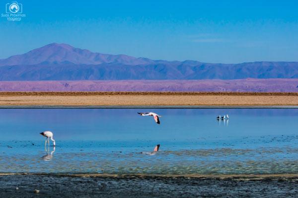 Flamingo Voando sobre a Laguna Chaxa no Deserto do Chile