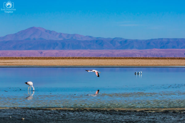 Flamingo Voando sobre a Laguna Chaxa no Deserto do Chile