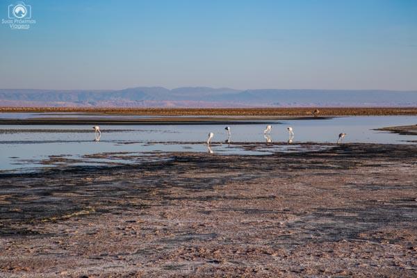 Flamingos se alimentando na Laguna Chaxa no Atacama