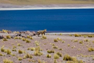 Morador local Miñiques - Atacama